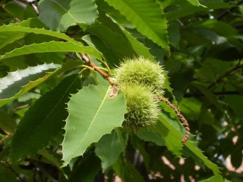 Castanea_-_chestnuts_on_a_tree